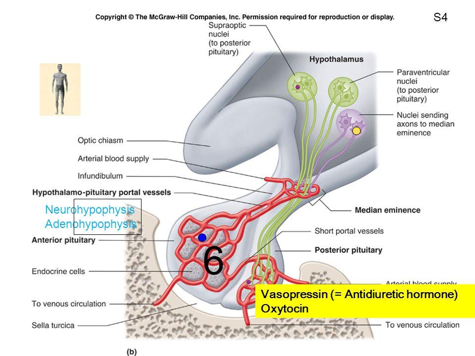 Fig. 11.12b Vasopressin (= Antidiuretic hormone) Oxytocin Neurohypophysis Adenohypophysis 6 S4