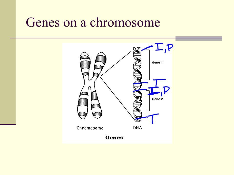 Genes on a chromosome