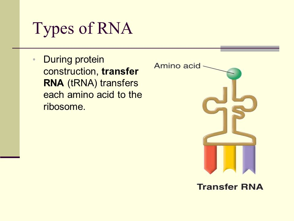 Types of RNA During protein construction, transfer RNA (tRNA) transfers each amino acid to the ribosome.