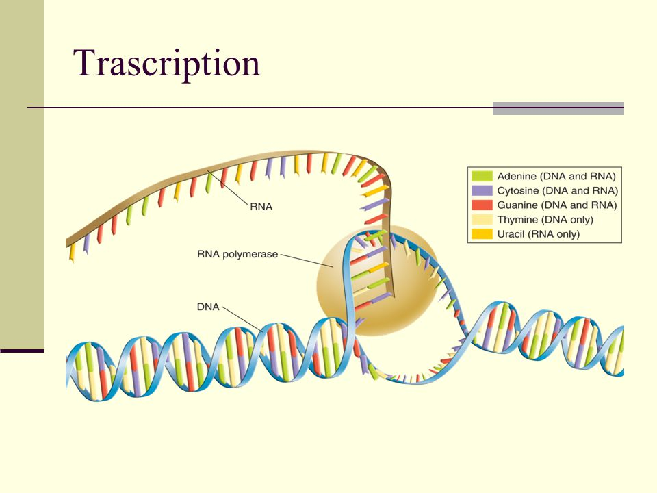 Protein Synthesis Odds and Ends: A ribosome is made of rRNA and PROTEINS.