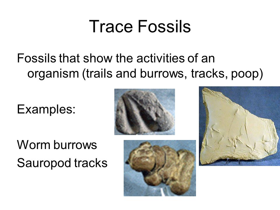 Trace Fossils Fossils that show the activities of an organism (trails and burrows, tracks, poop) Examples: Worm burrows Sauropod tracks