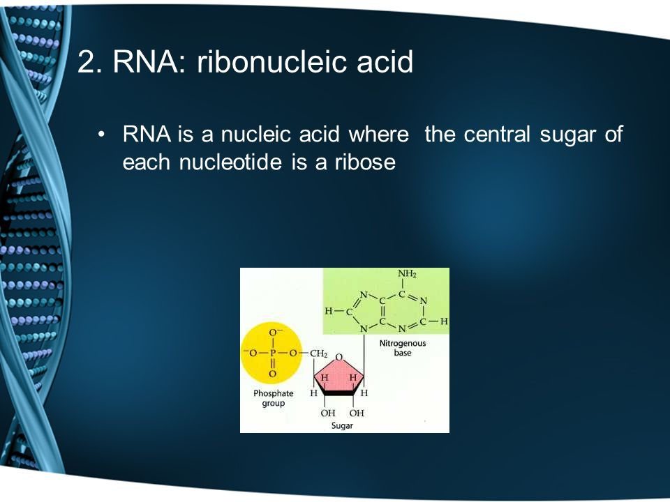 RNA has 4 nucleotides, with Thymine being replaced by Uracil A binds to U C binds to G