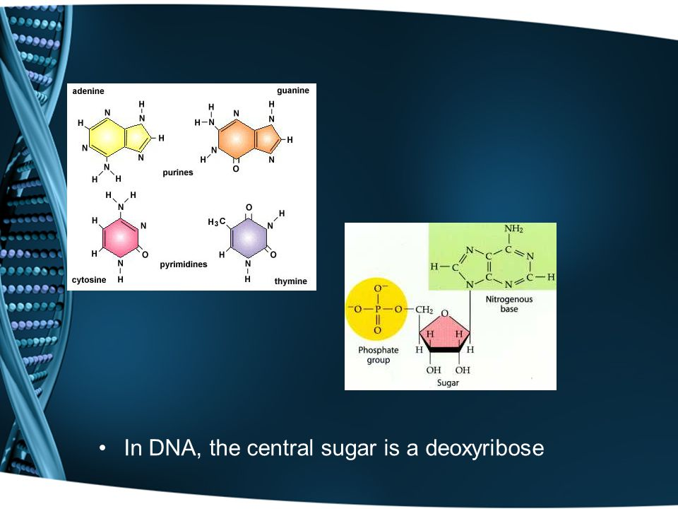 In DNA, the central sugar is a deoxyribose