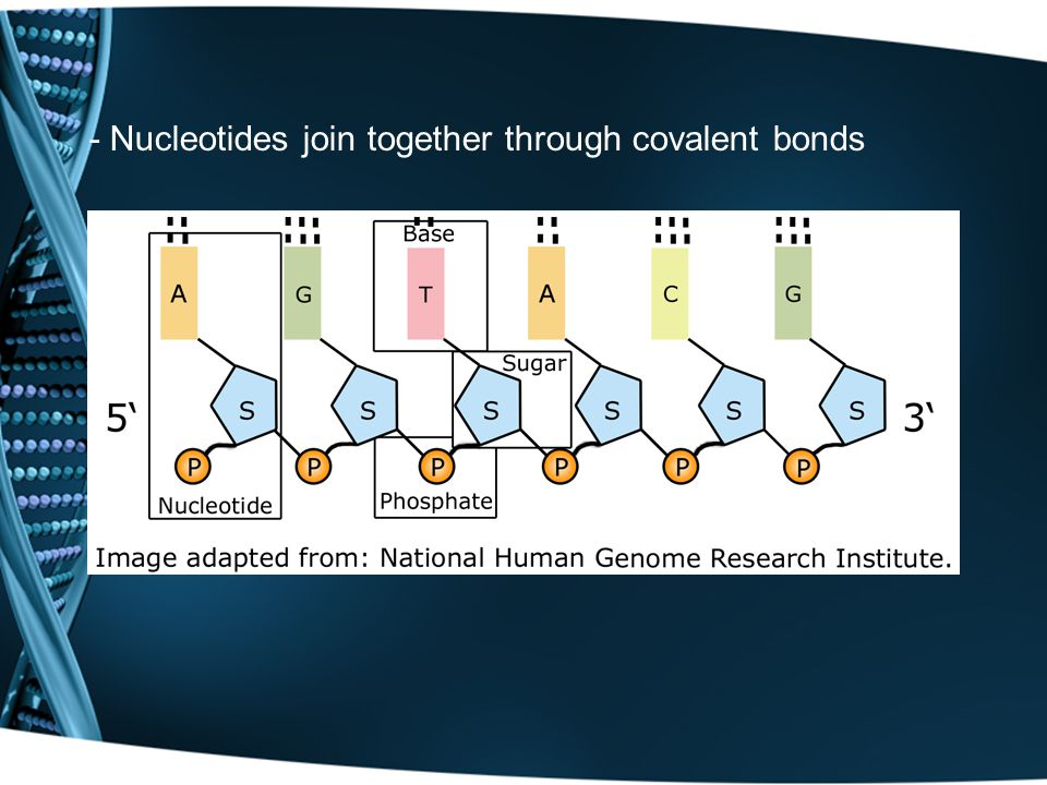 - Nucleotides join together through covalent bonds