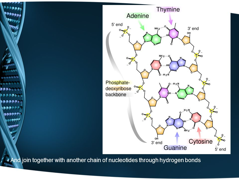 - And join together with another chain of nucleotides through hydrogen bonds