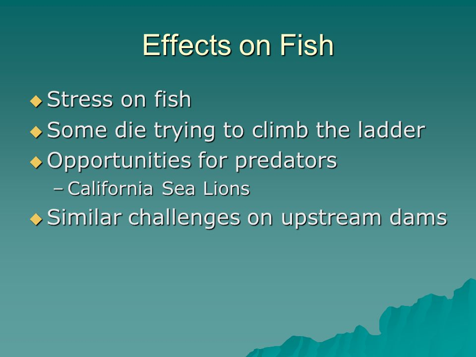 Effects on Fish  Stress on fish  Some die trying to climb the ladder  Opportunities for predators –California Sea Lions  Similar challenges on upstream dams