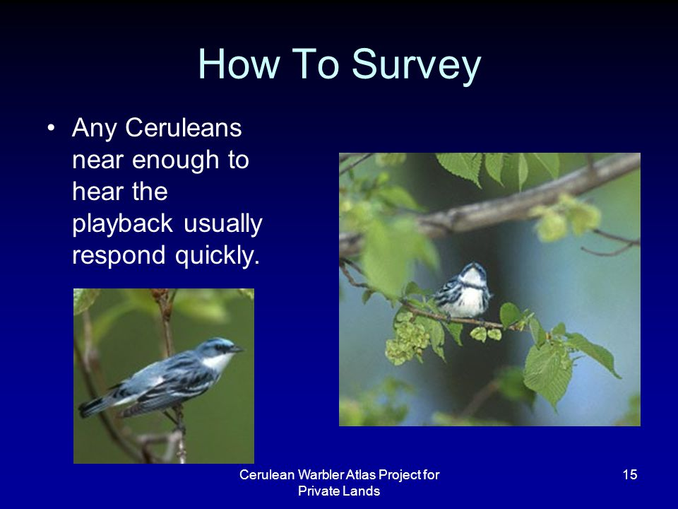 Cerulean Warbler Atlas Project for Private Lands 15 How To Survey Any Ceruleans near enough to hear the playback usually respond quickly.