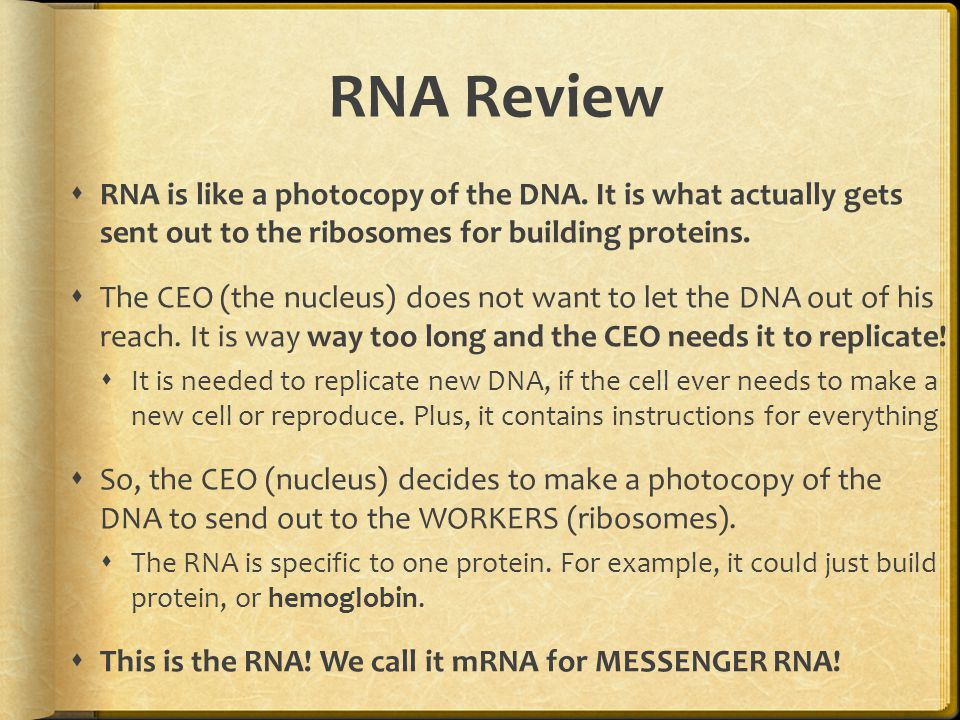 Transcription Review  mRNA is created through the process of TRANSCRIPTION.