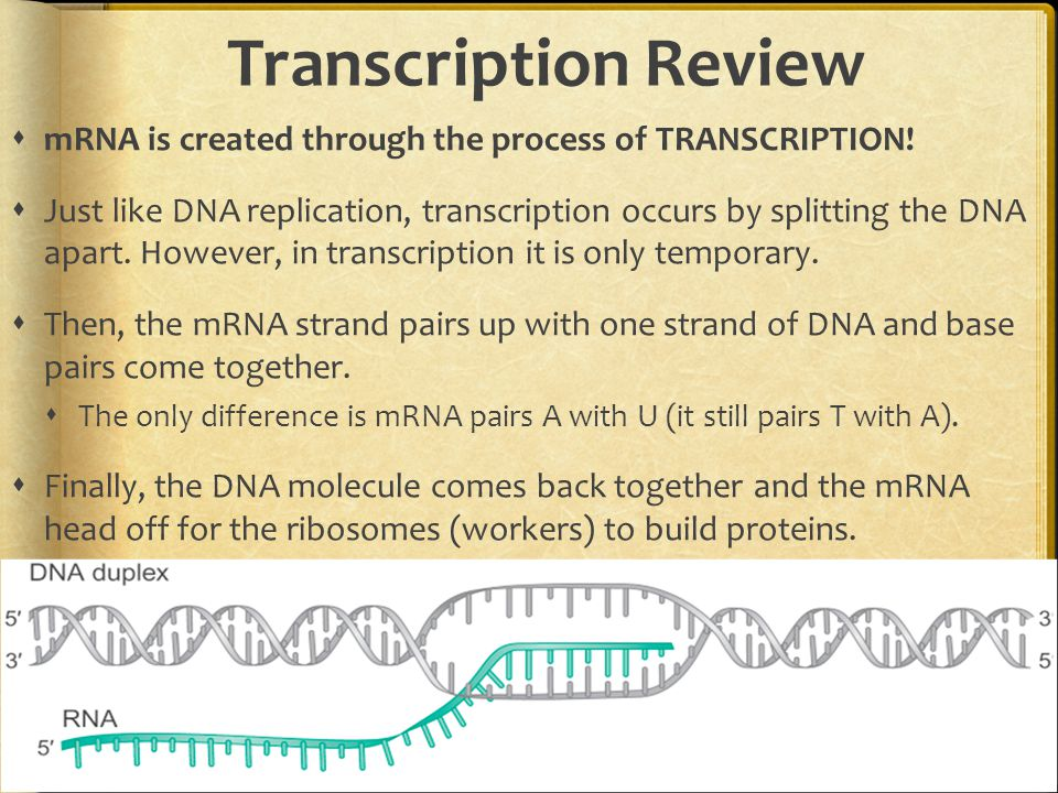 Transcription Review  mRNA is created through the process of TRANSCRIPTION.