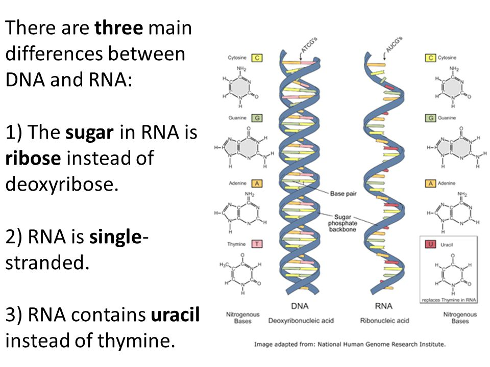 There are three main differences between DNA and RNA: 1) The sugar in RNA is ribose instead of deoxyribose.