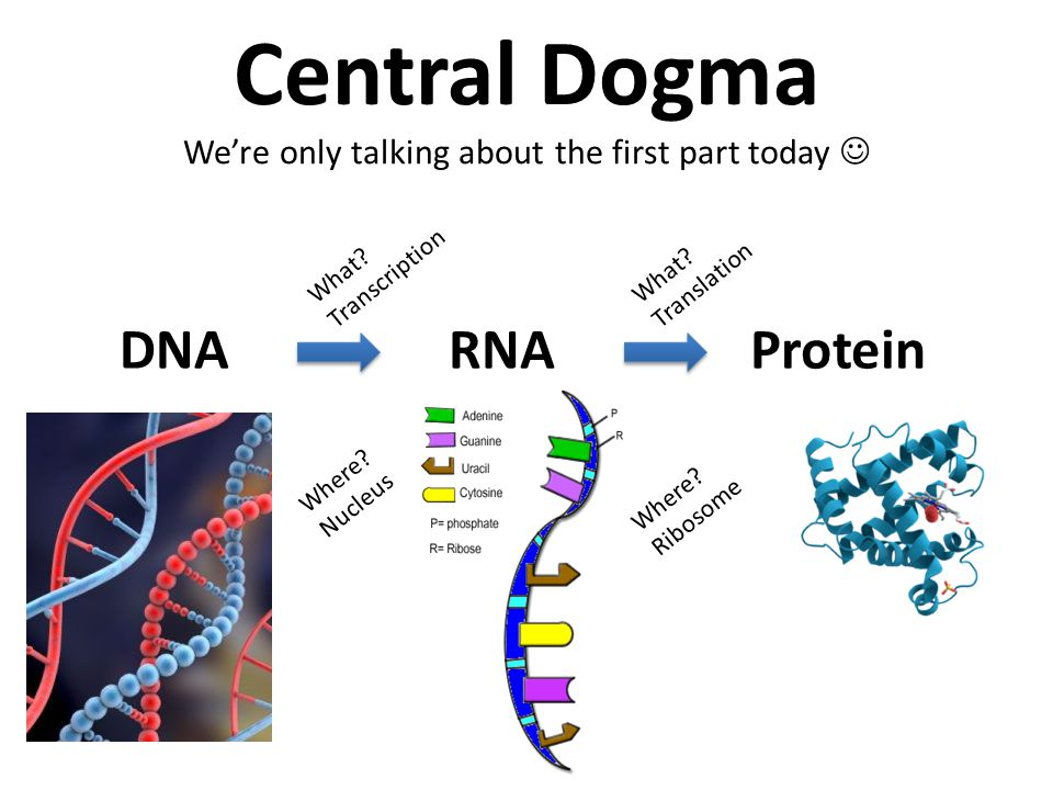 Central Dogma We're only talking about the first part today DNARNAProtein Where.