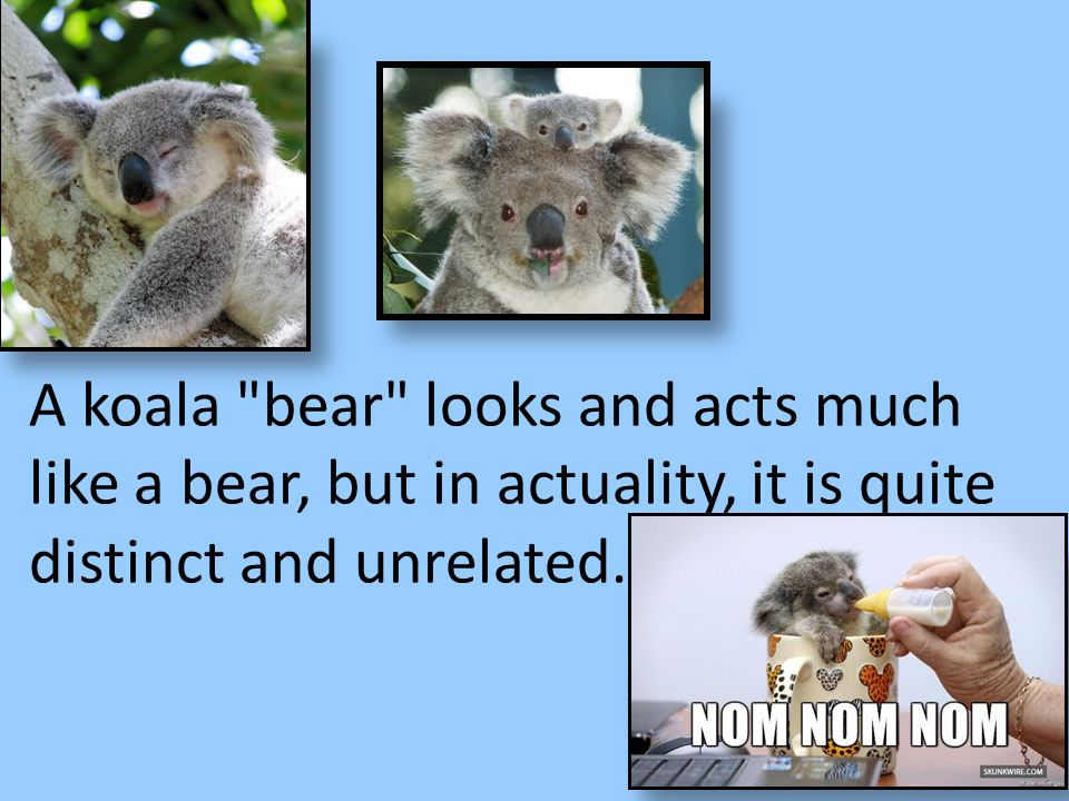 A koala bear looks and acts much like a bear, but in actuality, it is quite distinct and unrelated.