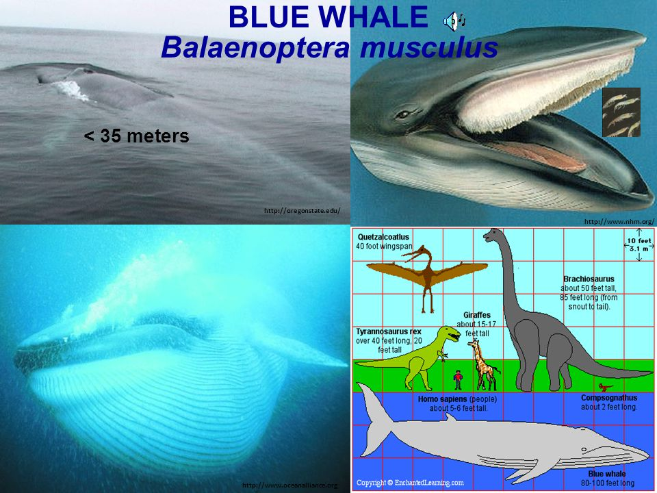 BLUE WHALE Balaenoptera musculus < 35 meters http://www.oceanalliance.org http://oregonstate.edu/ http://www.nhm.org/