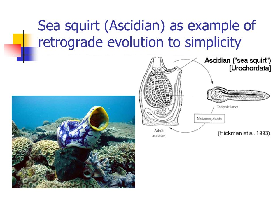 Sea squirt (Ascidian) as example of retrograde evolution to simplicity