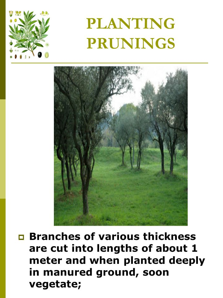 PLANTING PRUNINGS  Branches of various thickness are cut into lengths of about 1 meter and when planted deeply in manured ground, soon vegetate;