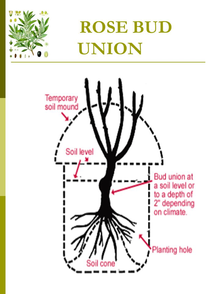 PLANTING PRUNINGS  Branches of various thickness are cut into lengths of about 1 meter and when planted deeply in manured ground, soon vegetate;