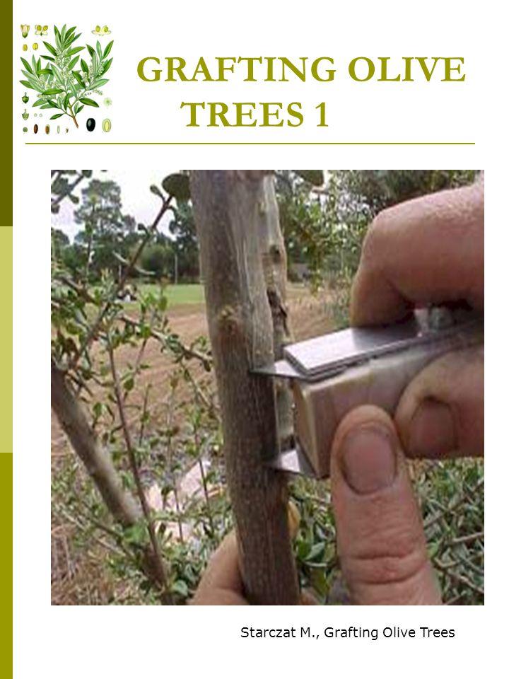 GRAFTING OLIVE TREES 1 Starczat M., Grafting Olive Trees
