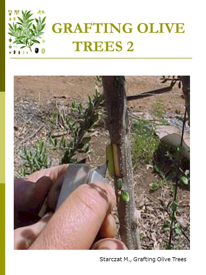 GRAFTING OLIVE TREES 2 Starczat M., Grafting Olive Trees