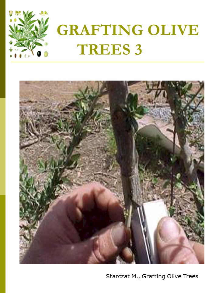 GRAFTING OLIVE TREES 4 Starczat M., Grafting Olive Trees