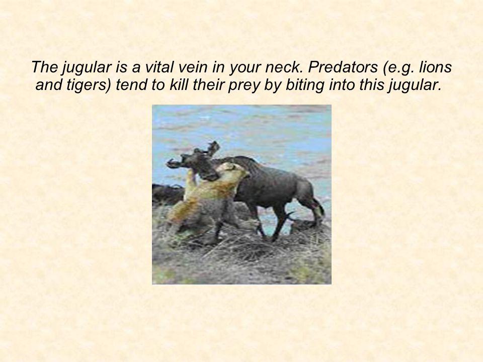 The jugular is a vital vein in your neck. Predators (e.g.