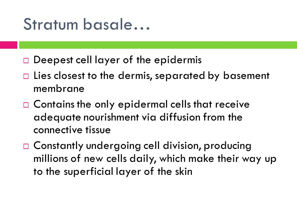 Stratum basale…  Deepest cell layer of the epidermis  Lies closest to the dermis, separated by basement membrane  Contains the only epidermal cells