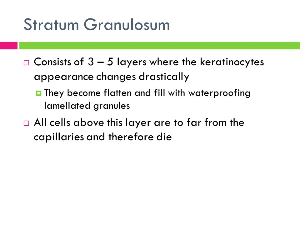 Stratum Granulosum  Consists of 3 – 5 layers where the keratinocytes appearance changes drastically  They become flatten and fill with waterproofing