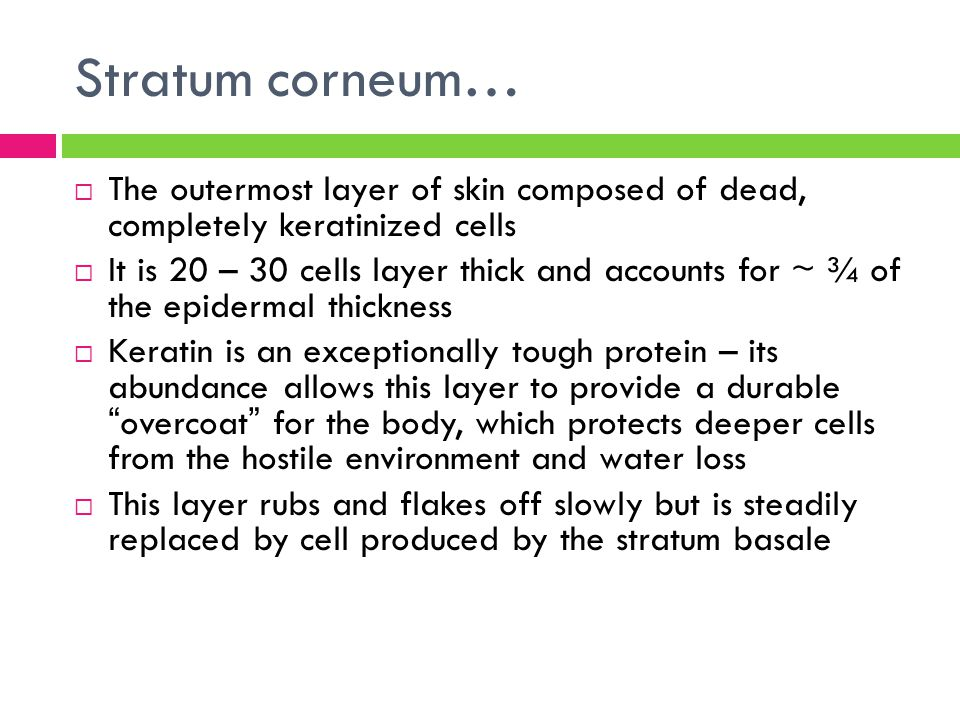 Stratum corneum…  The outermost layer of skin composed of dead, completely keratinized cells  It is 20 – 30 cells layer thick and accounts for ~ ¾ o
