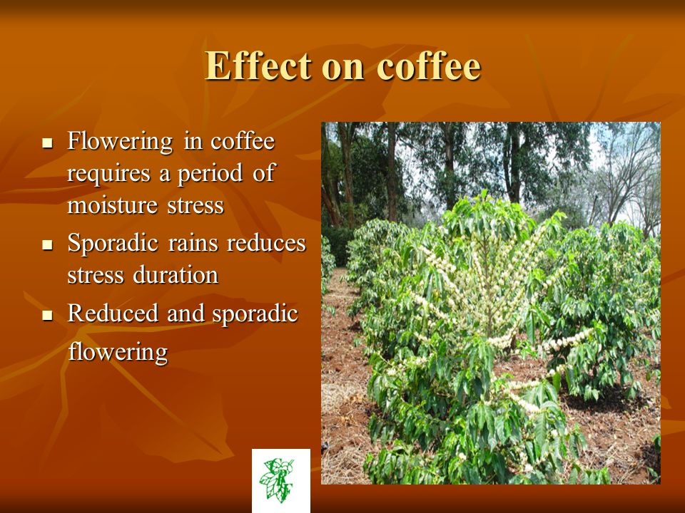 Effect on coffee Flowering in coffee requires a period of moisture stress Flowering in coffee requires a period of moisture stress Sporadic rains reduces stress duration Sporadic rains reduces stress duration Reduced and sporadic Reduced and sporadic flowering flowering