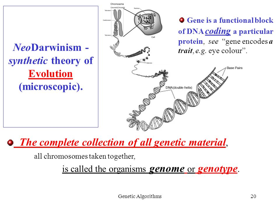 Genetic Algorithms20 NeoDarwinism - synthetic theory of Evolution (microscopic).
