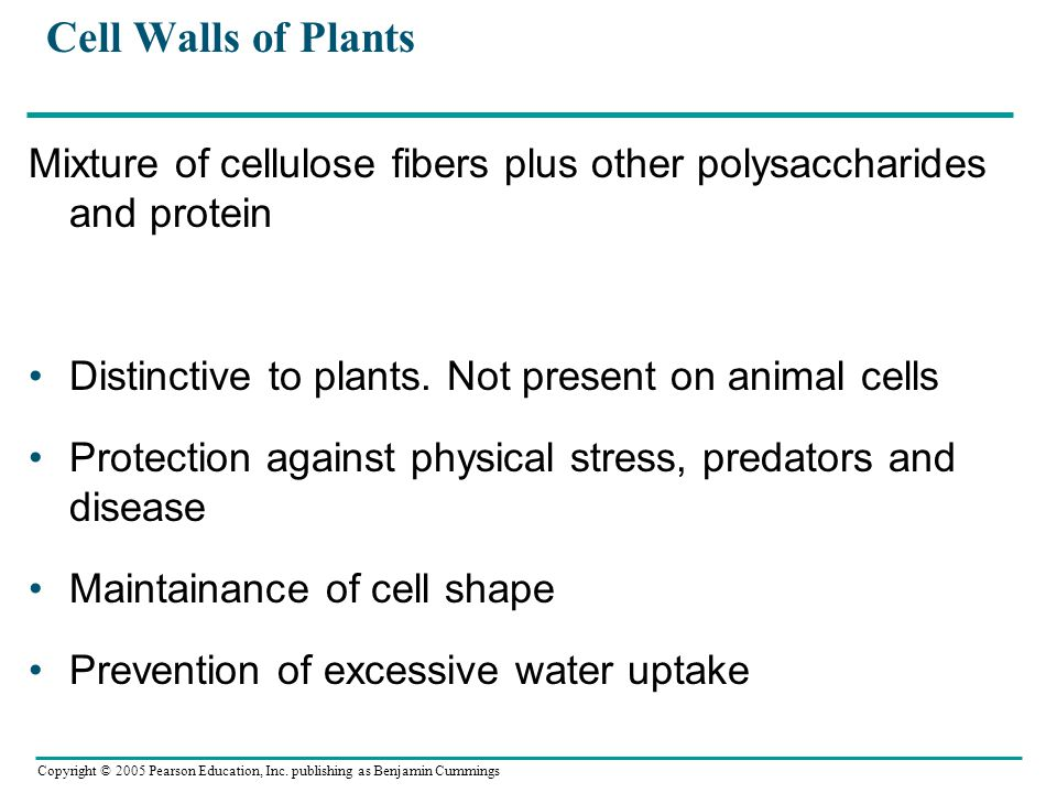 Copyright © 2005 Pearson Education, Inc. publishing as Benjamin Cummings Cell Walls of Plants Mixture of cellulose fibers plus other polysaccharides a