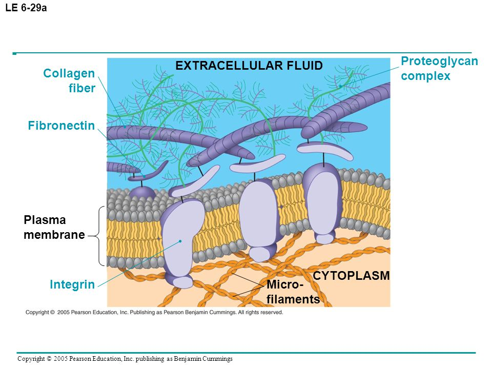Copyright © 2005 Pearson Education, Inc. publishing as Benjamin Cummings LE 6-29a EXTRACELLULAR FLUID Proteoglycan complex Collagen fiber Fibronectin