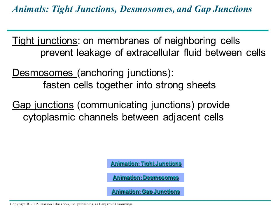 Copyright © 2005 Pearson Education, Inc. publishing as Benjamin Cummings Animals: Tight Junctions, Desmosomes, and Gap Junctions Tight junctions: on m