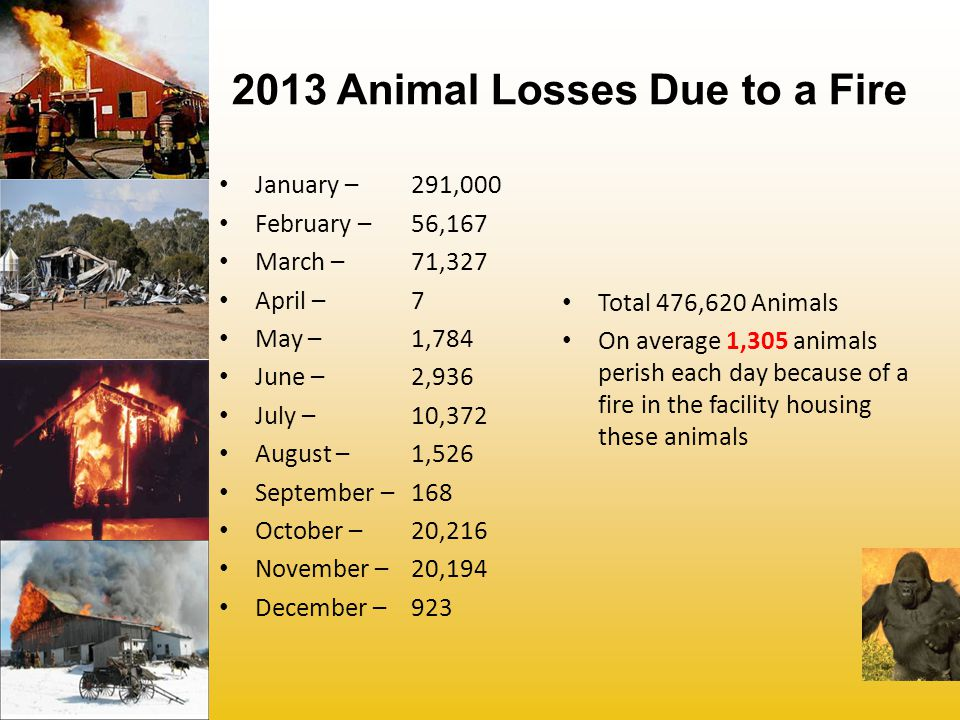 2013 Animal Losses Due to a Fire January – 291,000 February – 56,167 March – 71,327 April – 7 May – 1,784 June – 2,936 July – 10,372 August – 1,526 September – 168 October – 20,216 November – 20,194 December – 923 Total 476,620 Animals On average 1,305 animals perish each day because of a fire in the facility housing these animals