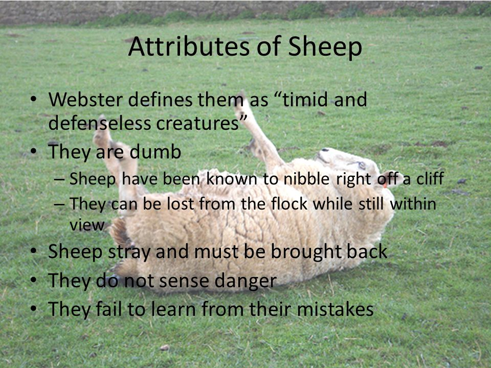 Attributes of Sheep Webster defines them as timid and defenseless creatures They are dumb – Sheep have been known to nibble right off a cliff – They can be lost from the flock while still within view Sheep stray and must be brought back They do not sense danger They fail to learn from their mistakes