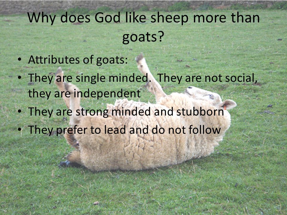 Why does God like sheep more than goats? Attributes of goats: They are single minded. They are not social, they are independent They are strong minded