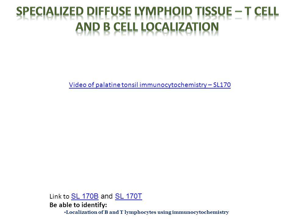 Video of palatine tonsil immunocytochemistry – SL170 Link to SL 170B and SL 170T SL 170BSL 170T Be able to identify: Localization of B and T lymphocytes using immunocytochemistry