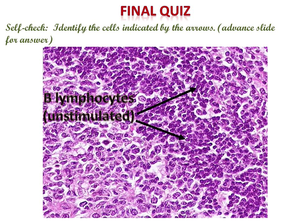 Self-check: Identify the cells indicated by the arrows. (advance slide for answer)