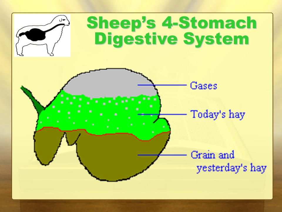 Sheep's 4-Stomach Digestive System