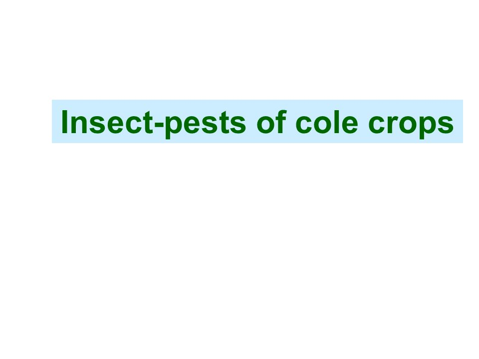 Insect-pests of cole crops
