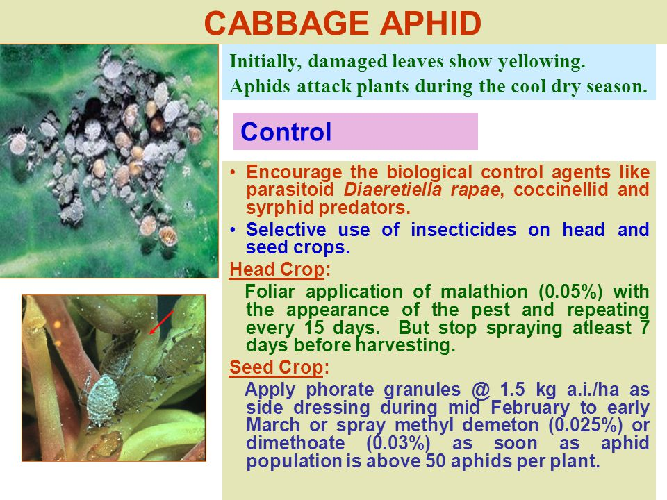 CABBAGE APHID Initially, damaged leaves show yellowing.
