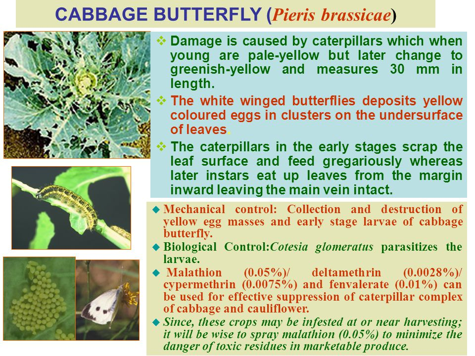 CABBAGE BUTTERFLY ( Pieris brassicae)  Damage is caused by caterpillars which when young are pale-yellow but later change to greenish-yellow and measures 30 mm in length.