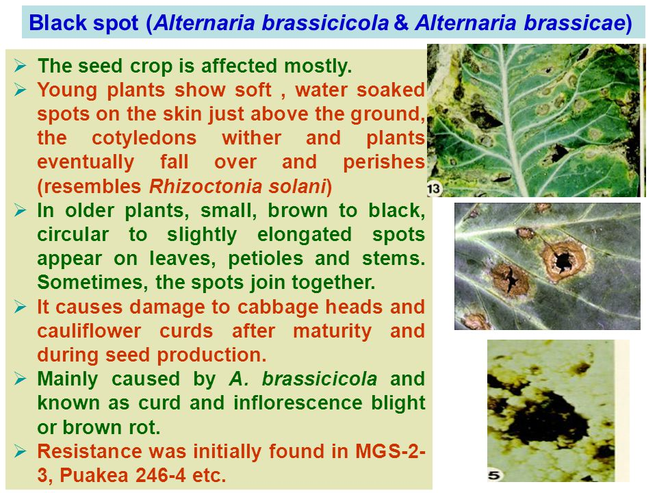 Black spot (Alternaria brassicicola & Alternaria brassicae)  The seed crop is affected mostly.