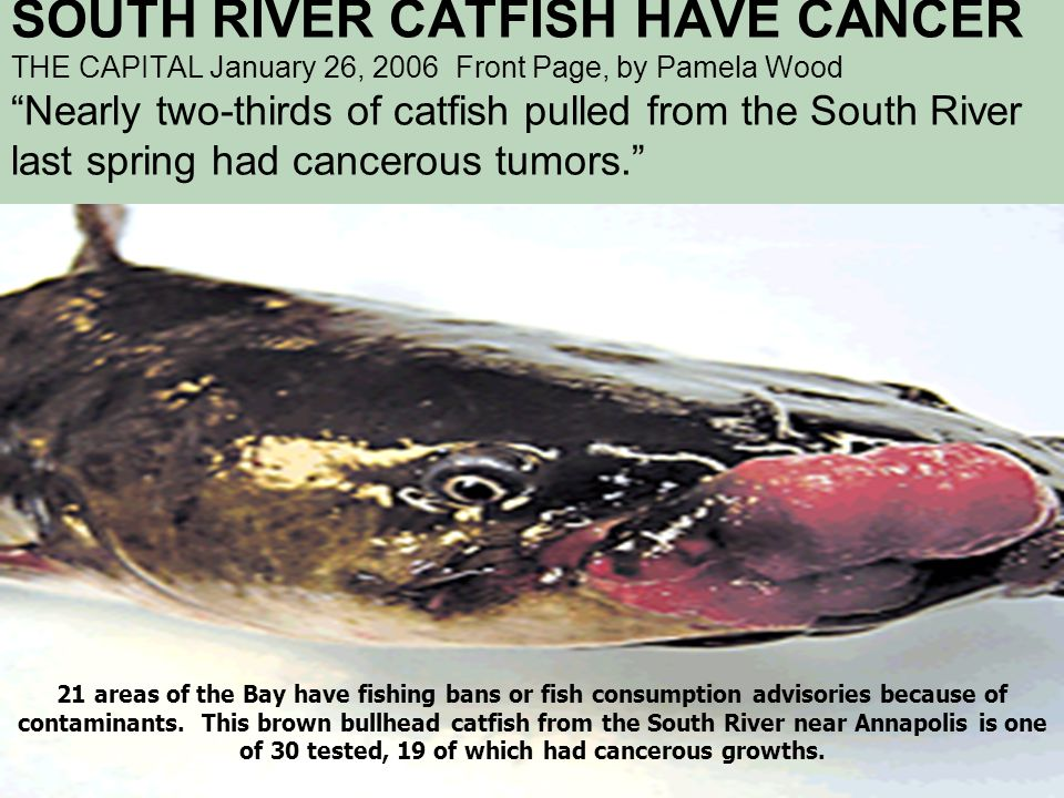"""SOUTH RIVER CATFISH HAVE CANCER THE CAPITAL January 26, 2006 Front Page, by Pamela Wood """"Nearly two-thirds of catfish pulled from the South River last"""