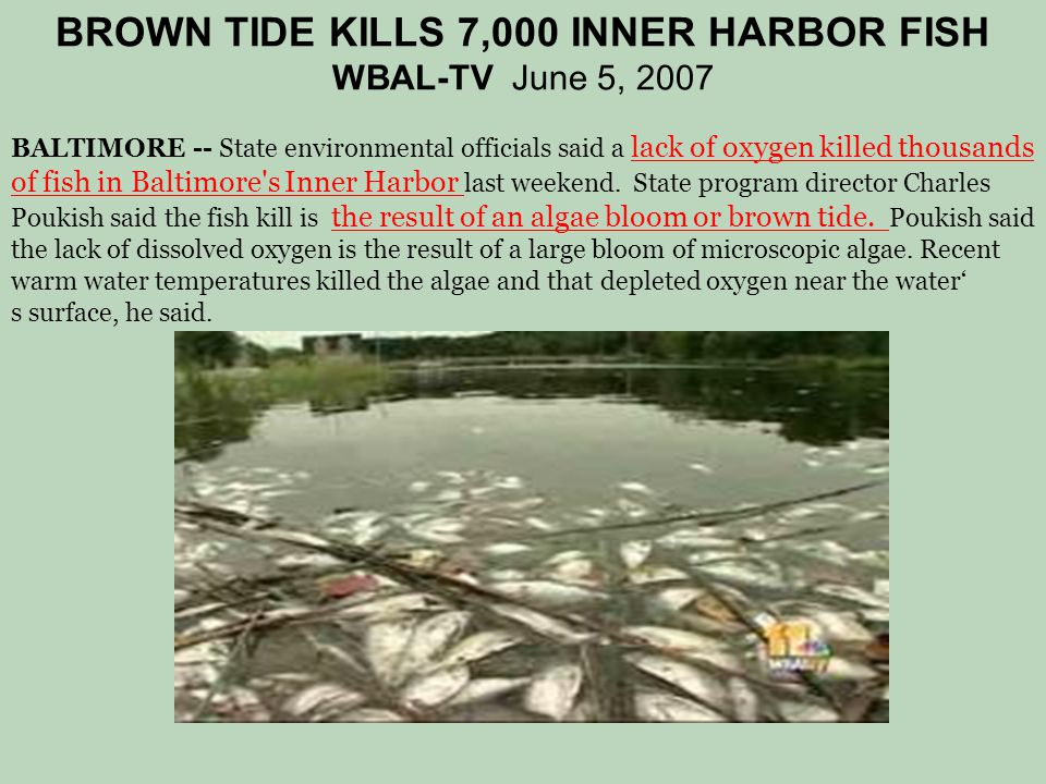 BROWN TIDE KILLS 7,000 INNER HARBOR FISH WBAL-TV June 5, 2007 BALTIMORE -- State environmental officials said a lack of oxygen killed thousands of fis