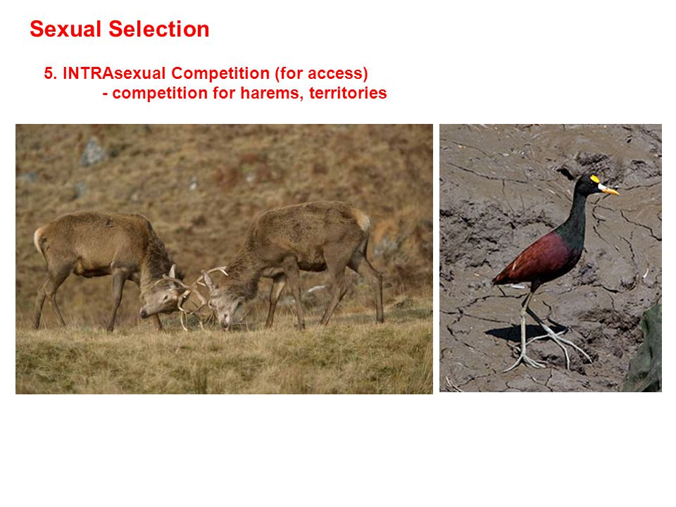 Sexual Selection 5. INTRAsexual Competition (for access) - competition for harems, territories