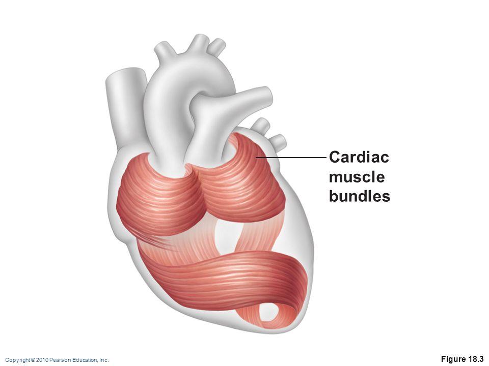 Copyright © 2010 Pearson Education, Inc. Figure 18.3 Cardiac muscle bundles