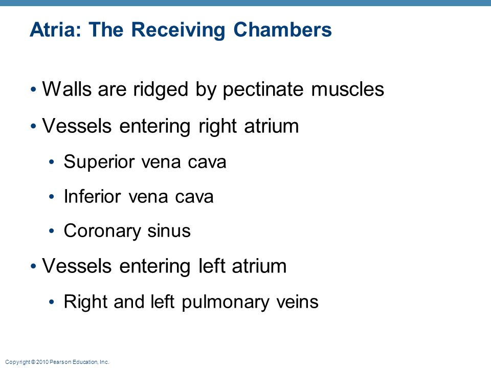 Copyright © 2010 Pearson Education, Inc. Atria: The Receiving Chambers Walls are ridged by pectinate muscles Vessels entering right atrium Superior ve