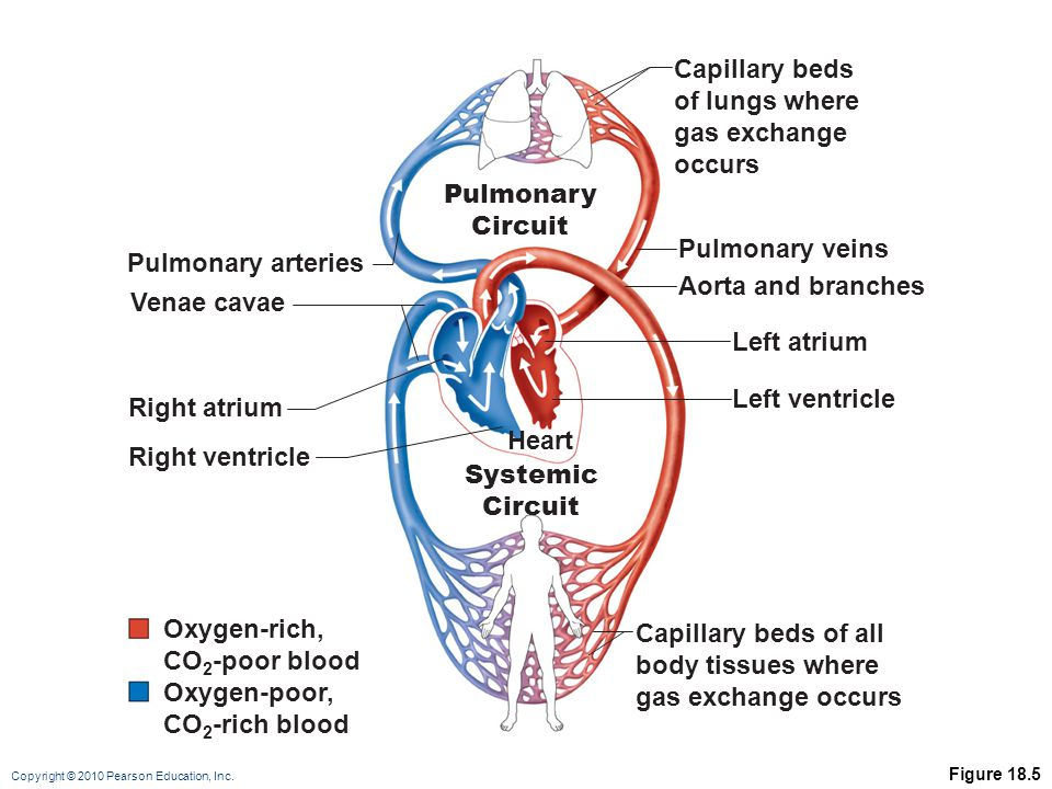 Copyright © 2010 Pearson Education, Inc. Figure 18.5 Oxygen-rich, CO 2 -poor blood Oxygen-poor, CO 2 -rich blood Capillary beds of lungs where gas exc