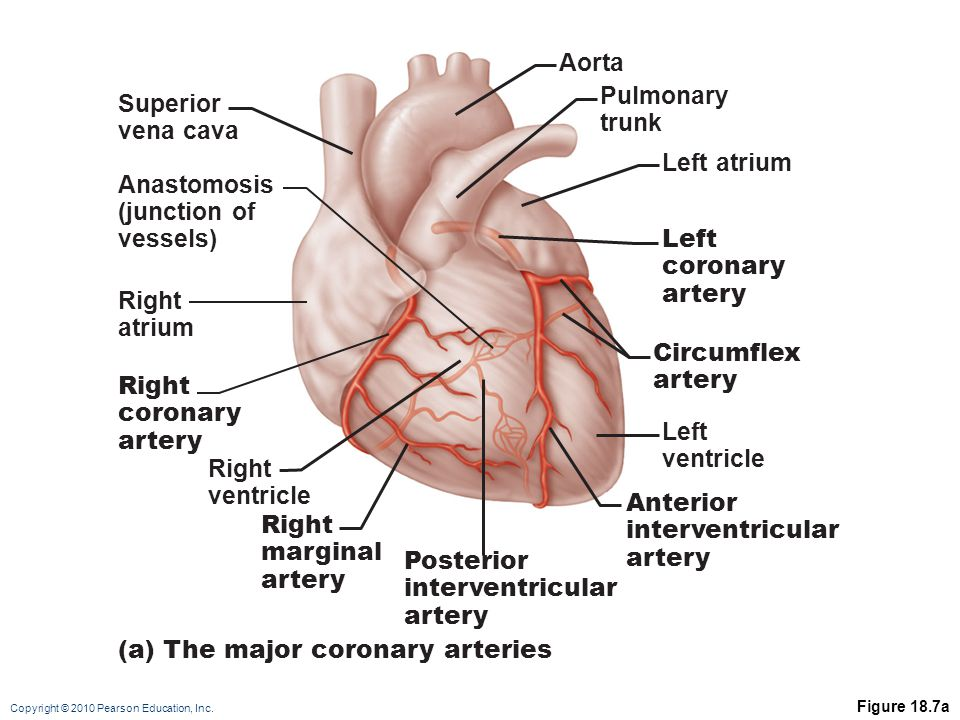 Copyright © 2010 Pearson Education, Inc. Figure 18.7a Right ventricle Right coronary artery Right atrium Right marginal artery Posterior interventricu
