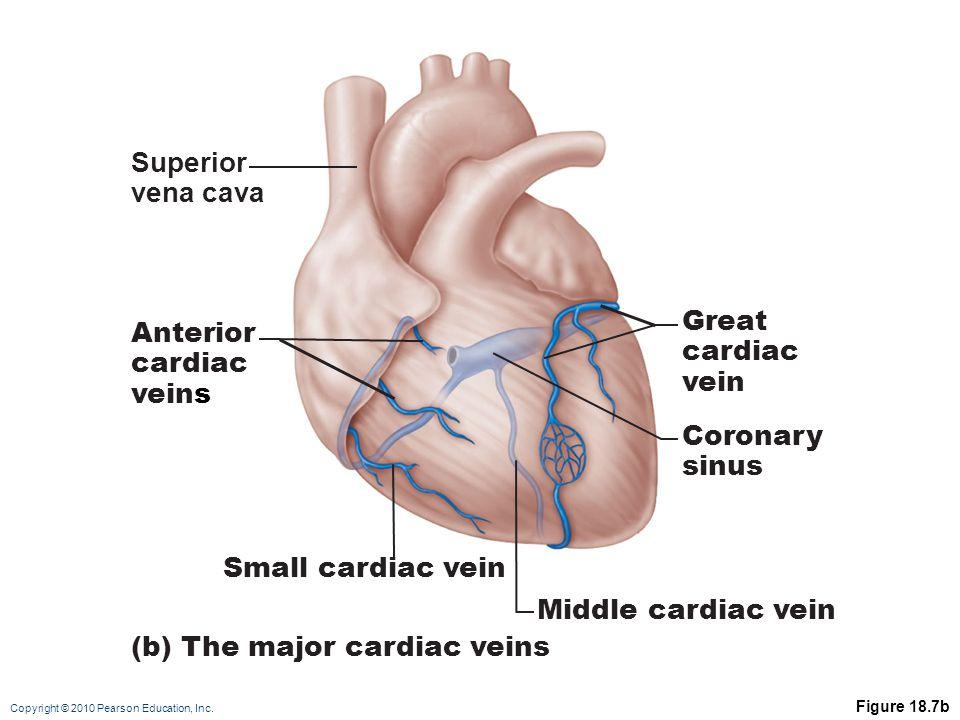 Copyright © 2010 Pearson Education, Inc. Figure 18.7b Superior vena cava Anterior cardiac veins Small cardiac vein Middle cardiac vein Great cardiac v